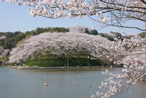 蓮華寺池公園の桜