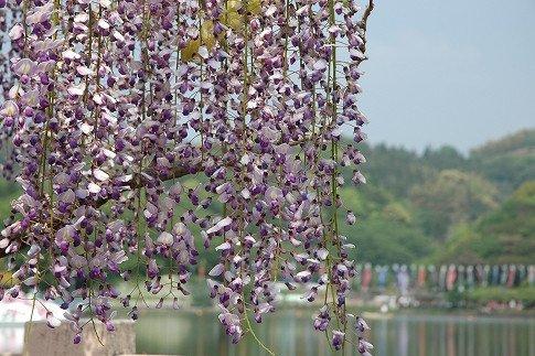 蓮華寺池公園の藤