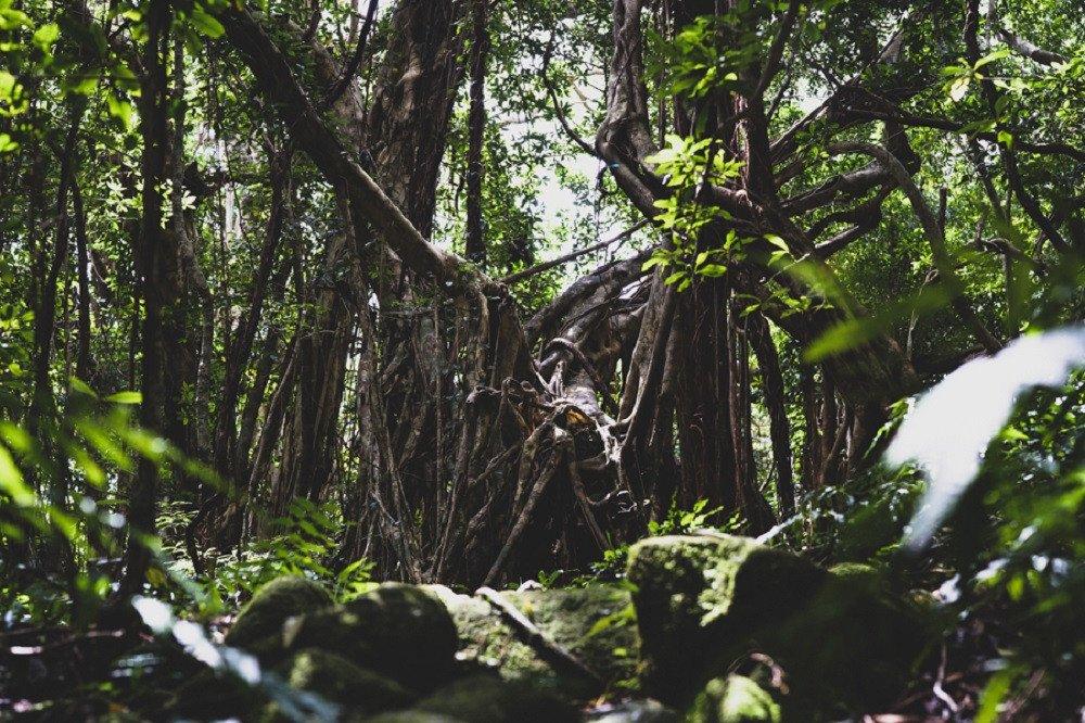 撮影地:猿川ガジュマル