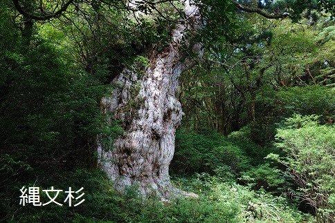 長く険しい原生林をたどった先で出会える「縄文杉」