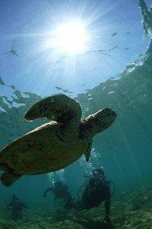 世界有数の産卵地で出会える「ウミガメ」