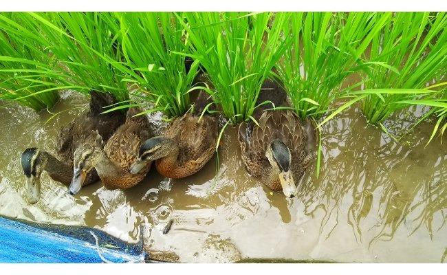 農薬を使用しないために米と一緒に育てる合鴨