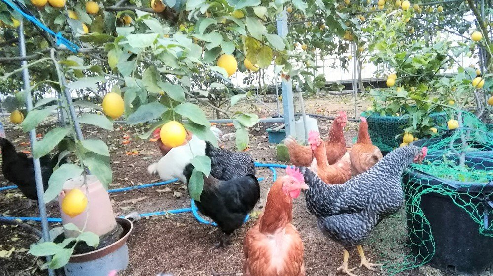 害虫駆除の鶏たち