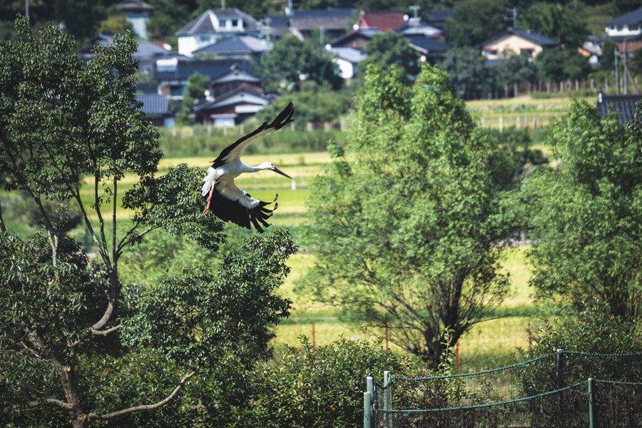 撮影地:兵庫県立コウノトリの郷公園