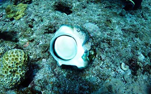 沖永良部島 世界に1つのアクセサリ作り!海の宝石!夜光貝 貝殻 フタ5個セット