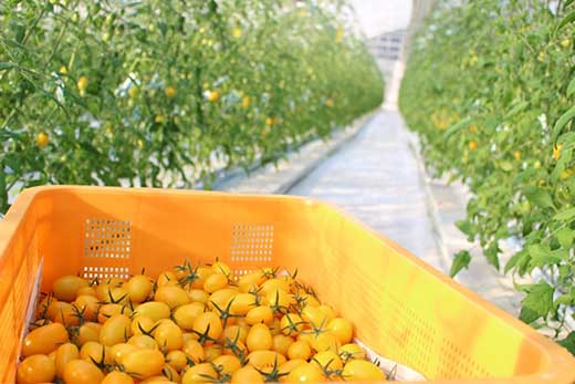 ◆ドロップファームの美容トマト4パック入り