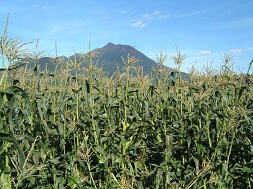 青森県岩木南麓 鈴木農場嶽きみ100%使用「最中で包んだ嶽きみスープ」5ヶセット