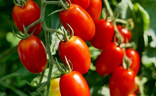 土からこだわりの有機栽培トマト「アイコ」2kg