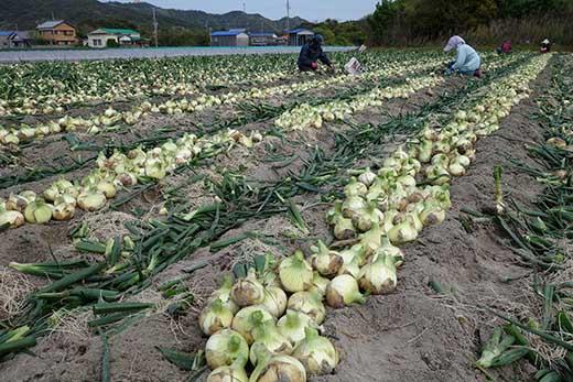【サイズ色々】淡路島フルーツ玉ねぎ3kg・テレビや雑誌で多数紹介