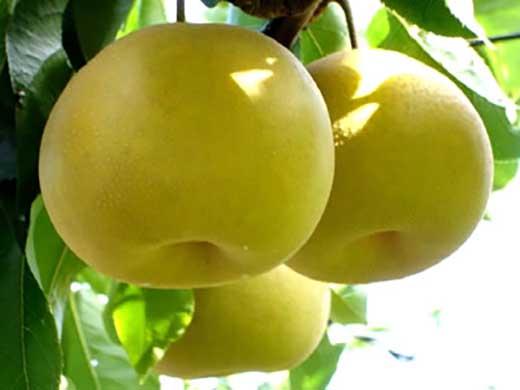 健康にいい栄養たっぷりな梨なし/幸水5kg(12玉~14玉)