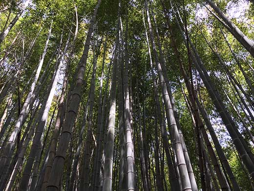 産地直送「真竹」 3キロ 5月下旬~6月配送