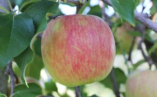りんご(スイート)5kg秀