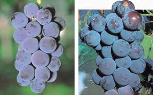 エコファーマー認定農園産 ぶどう(ニューピオーネ1.5kg)
