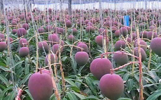 【平成30年最優秀沖縄県知事賞受賞】サンフルーツ糸満のマンゴー約2kg