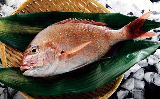 紀淡海峡の恵み・泉州みさき旬の魚/真鯛1尾