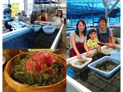 海ぶどうつみとり体験、海ぶどう丼 セット