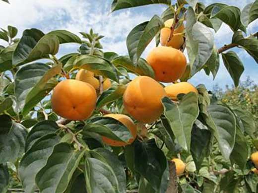 ≪訳あり≫柳フルーツ園たねなし柿 約7kg(25~35個程度・和歌山産)