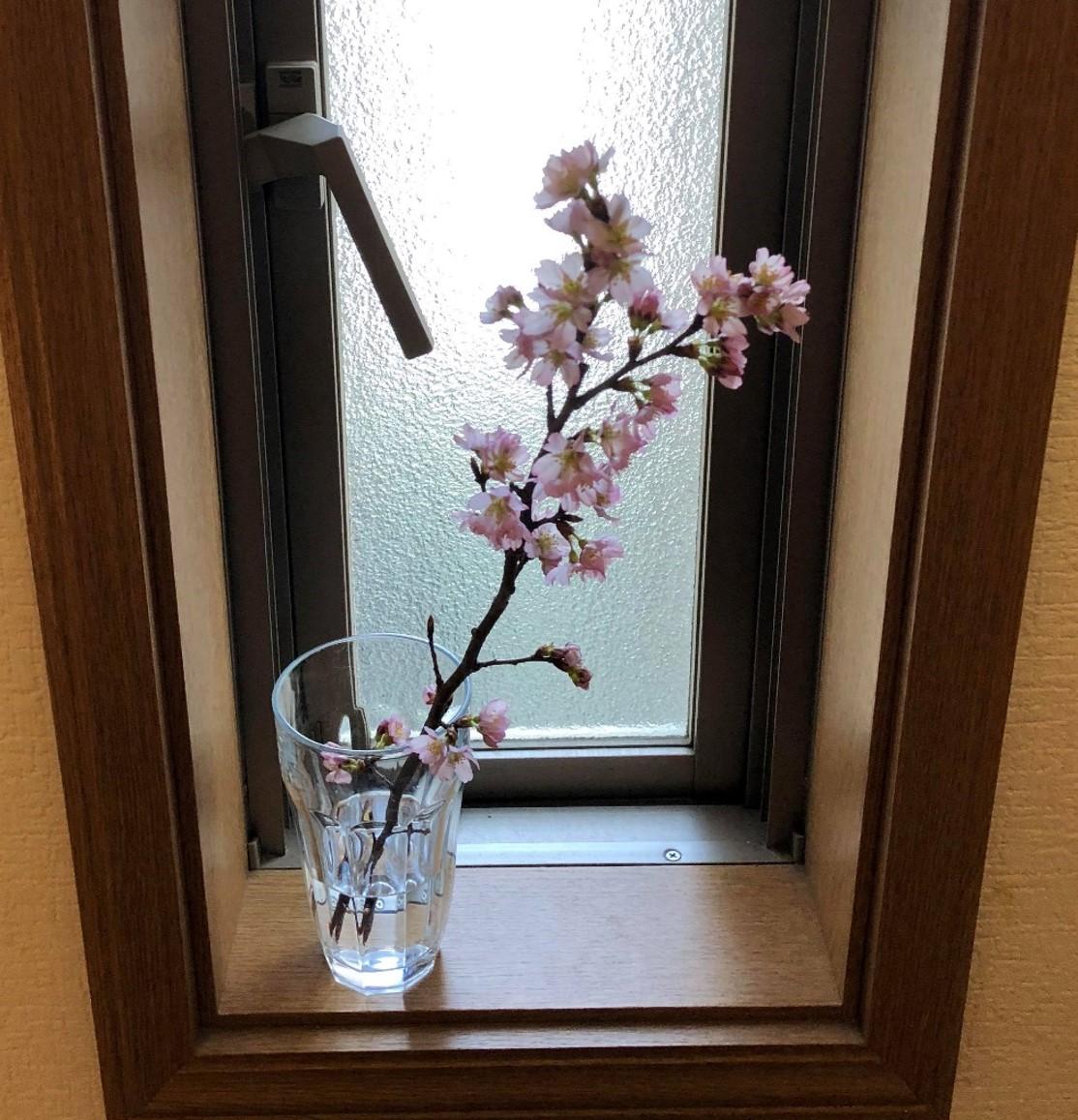 丹後産桜苗木切り花セット