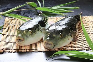 【若男水産】【淡路島3年とらふぐ】松 ふぐ鍋 ふぐ刺身・白子セット(5~6人前)