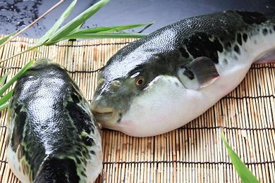 【若男水産】【淡路島3年とらふぐ】竹 ふぐ鍋 刺身セット(5~6人前)