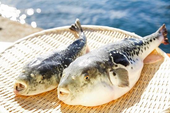 【若男水産】【淡路島3年とらふぐ】丸ごと1匹 身欠き白子付