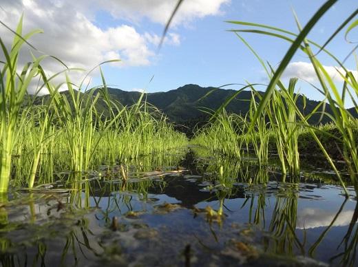 【頒布会】昔ながらの純粋なコシヒカリ特別栽培米(従来品種)900g×2入×3ヶ月