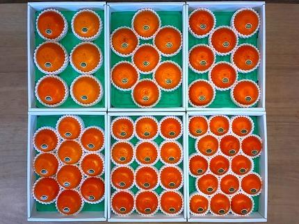 【化粧箱】『柑橘の大トロ』ハウスせとか厳選12玉入