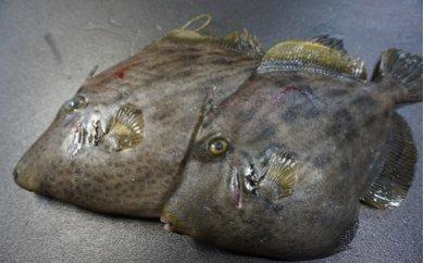 「愛海の恵み」大分豊後水道産養殖カワハギ(約2kg 4~8枚)