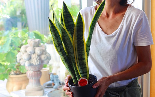 観葉植物「テーブルプランツ」植物のある暮らしオフィスや自宅などさり気なく植物を楽しみたい方、ギフトにも。オススメの観葉植物をお届けいたします。(アソート)<LotusGarden>
