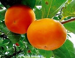 《2020年度11月~発送分》【JAながみね】富有柿(Mサイズ)
