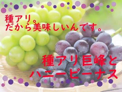 紫と黄緑のコラボレーション、巨峰&ハニービーナス