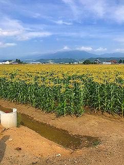 【先行予約】北海道産ピュアホワイト・露地とうもろこし 計12本(8月~発送開始)