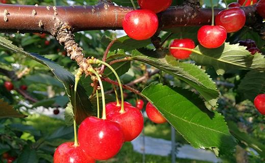 余市の砂川果樹園が贈る、もぎたて直送さくらんぼ【佐藤錦】2kgバラ詰