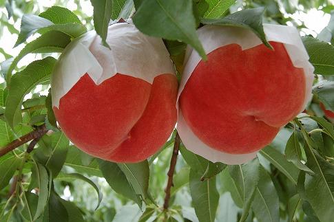【2019年お届け】自然の中で自由にじっくり育てた「ふくしまの桃」3kg(9~12玉)