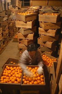 蔵出しみかん10kg 和歌山県より農園直送 S・M・Lサイズお任せ