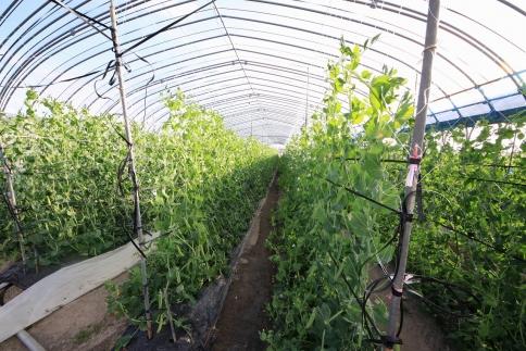朝採れウスイエンドウ豆約2kgLサイズ温室栽培