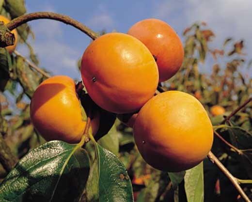 ■和歌山県産高級ブランド富有柿約7.5kg【2020年11月上旬以降出荷】