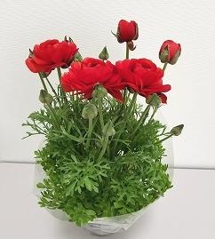 三豊市特産【ラナンキュラス】5寸鉢植え×2鉢