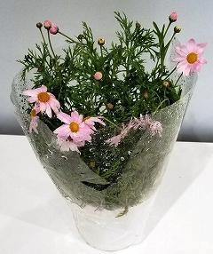 【ポイント交換】三豊市特産【マーガレット】5寸鉢植え×2鉢