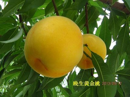 【ポイント交換】香川県三豊市産「晩生黄金桃ゴールデン」2kg