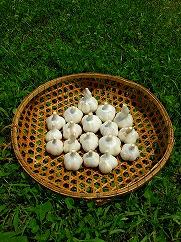 スタミナ満点!風味と濃厚な味わい!上質なにんにく【福地ホワイト六片種】を宮城県登米市で栽培しました。