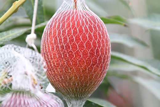 完熟桜マンゴー2Lサイズ 2玉【期間・数量限定】
