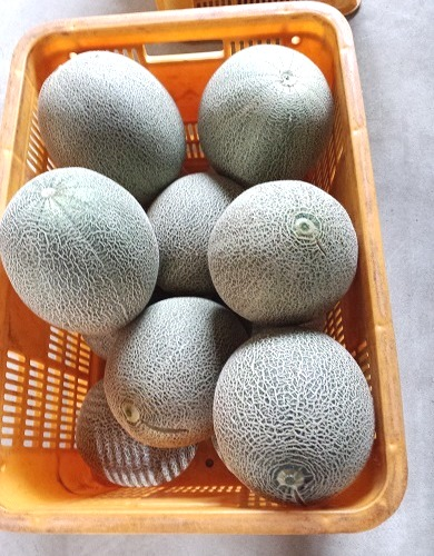 津軽産緑肉メロン(大きさ不揃い家庭用約8kg)