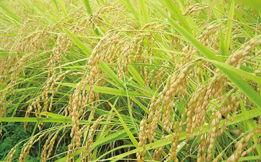 魚沼産コシヒカリ「金印」高食味米5kg(令和元年米)