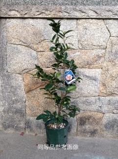 ☆究極の咲き分け椿「七曜変化」7号鉢接木開花見込み苗
