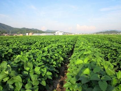 丹波篠山産黒枝豆(サヤのみ)2㎏《下旬》