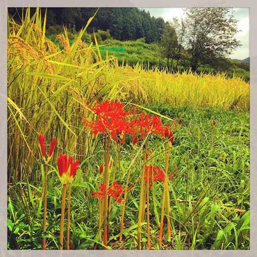令和元年度特別栽培米京丹後コシヒカリ20kg