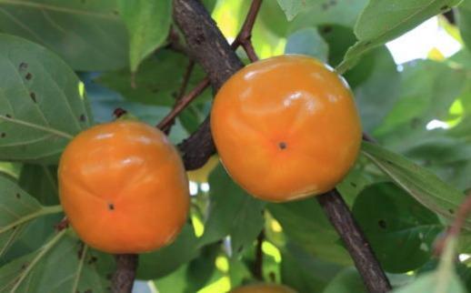 【2020年9月中旬以降発送開始】【秋の味覚】和歌山産の平たねなし柿約7.5kg(M・Lサイズおまかせ)