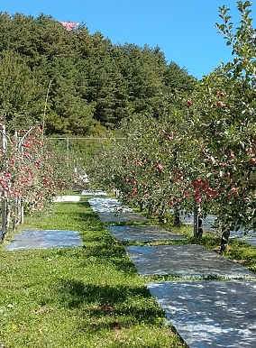 「リンゴのふくさわ」旬のリンゴ12~18玉詰め合わせ