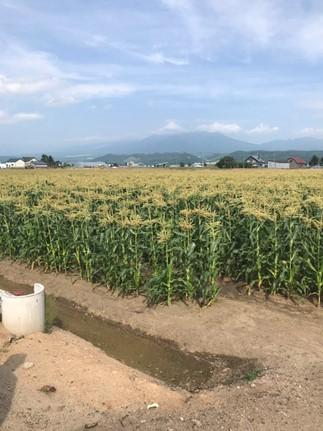 【先行予約】北海道産露地とうもろこし・ピュアホワイト計12本(8月~発送開始)